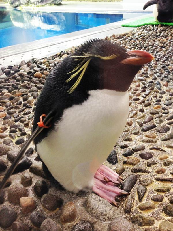寝るイワトビペンギン